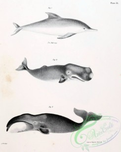 sea_animals_bw-00174 - 002-Whale, Dolphin