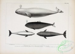 sea_animals_bw-00242 - 031-White Whale or Whitefish of Whalers