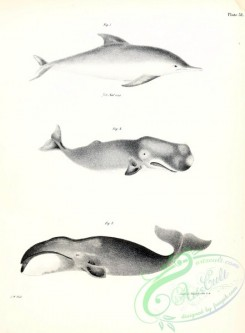 sea_animals_bw-00288 - 002-Dolphin, Whale