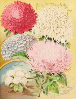 seeds_catalogs-00314 - 093-Aster [2785x3633]