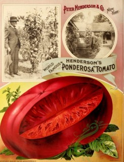 seeds_catalogs-00392 - 076-Tomato [2811x3681]