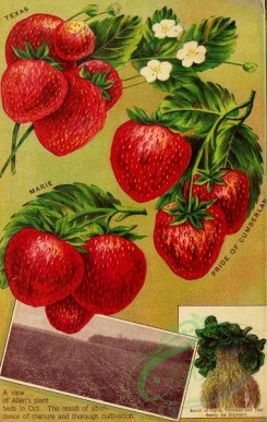 seeds_catalogs-01190 - 024-Strawberry [2723x4293]