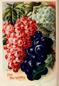 seeds_catalogs-01858 - 040-Grapes [2337x3398]