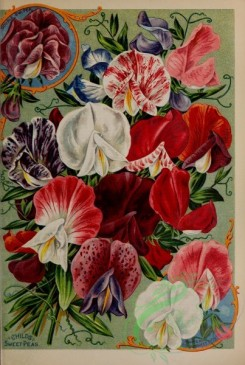 seeds_catalogs-01890 - 072-Sweet Peas [3207x4765]