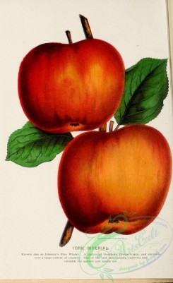 seeds_catalogs-02908 - 018-Apple [1948x3184]