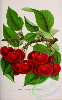 seeds_catalogs-02998 - 015-Cherry [2736x4365]