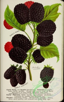 seeds_catalogs-03323 - 051-Blackberry [2736x4322]