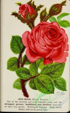 seeds_catalogs-03337 - 065-Rose [2689x4334]