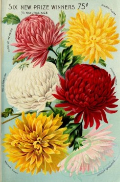 seeds_catalogs-03450 - 079-Chrysanthemum [2285x3454]