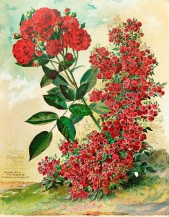 seeds_catalogs-04160 - 044-Climbing Polyantha Rose [4350x5591]