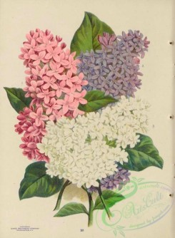 seeds_catalogs-06238 - 021-Lilac [4350x5929]