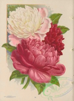 seeds_catalogs-06243 - 026-Peaonies, Double Herbaceous [4318x5922]