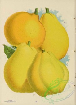 seeds_catalogs-06247 - 030-Quince [4348x5968]