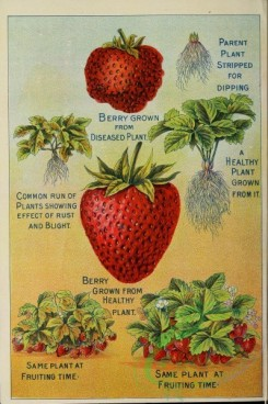 seeds_catalogs-06785 - 045-Strawberry [2876x4322]