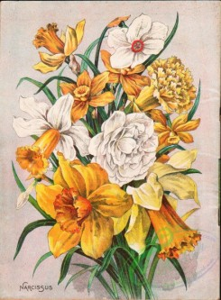 seeds_catalogs-07904 - 001-Narcissus