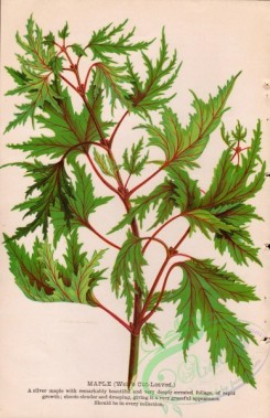 seeds_catalogs-07938 - 001-Weir's Cut-leaved Maple