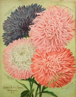 seeds_catalogs-08206 - 002-Aster