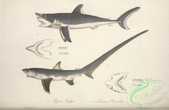 sharks-00043 - Thresher, Porbeagle