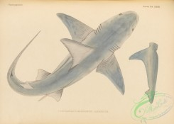 sharks-00069 - 150-carcharias (prionodon) japonicus