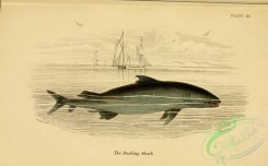 sharks-00078 - Basking Shark