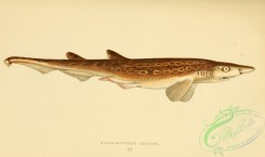 sharks-00096 - BLACK-MOUTHED DOGFISH