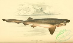sharks-00105 - SIX-GILLED SHARK