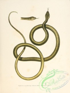 snakes-00078 - dendrophis dahlii