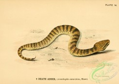 snakes-00119 - Death Adder, acanthophis antarcticus