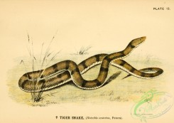 snakes-00125 - Tiger Snake, notechis scutatus