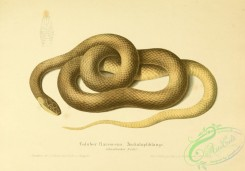 snakes-00129 - coluber flavescens