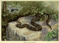 snakes-00161 - Reticulated Python