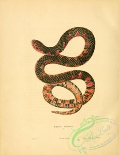snakes-00189 - coluber abacurus