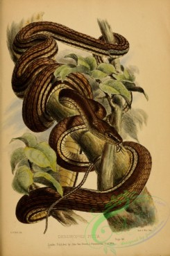 snakes-00195 - dendrophis picta