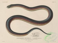 snakes-00211 - acanthophis tortor