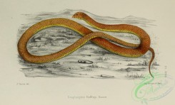 snakes-00232 - scaphiophis raffreyi