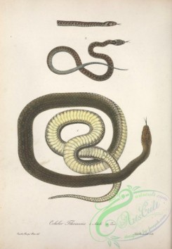 snakes-00243 - coluber flavescens