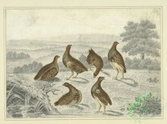 sporting-00066 - 079-Partridges in a field