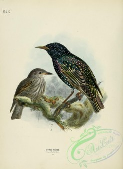 starlings-00018 - Common Starling or European Starling