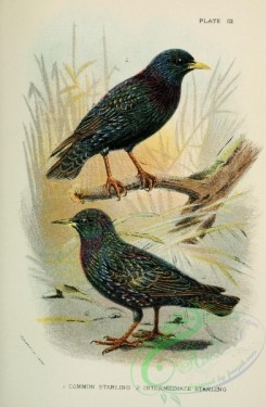 starlings-00058 - COMMON STARLING, INTERMEDIATE STARLING