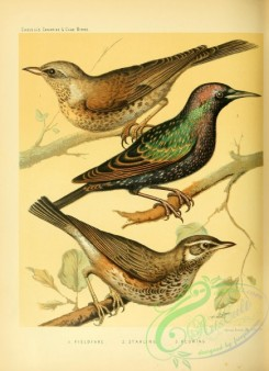 starlings-00070 - Fieldfare, Starling, Redwing