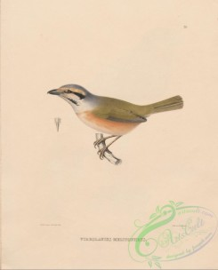 starlings-00119 - 026-Chestnut-sided Shrike-Vireo, vireolanius melitophrys