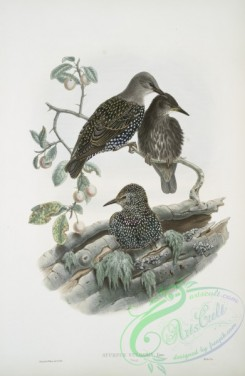 starlings-00190 - 405-Sturnus vulgaris, Young, Starling (young)