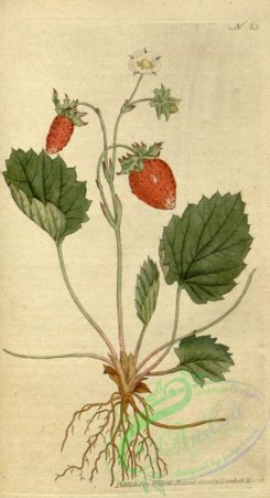 strawberry-00006 - 063-fragaria monophylla, One-leaved Strawberry or Strawberry of Versailles
