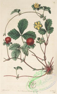 strawberry-00007 - 061-fragaria indica, Yellow-flowered Strawberry