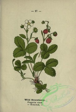 strawberry-00008 - Wild Strawberry - fragaria vesca