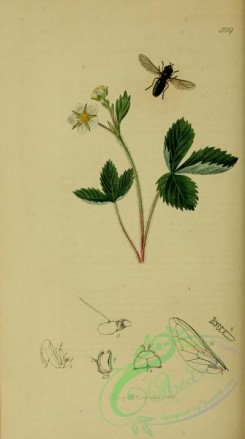 strawberry-00012 - Barren Strawberry, fragaria sterilis