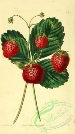 strawberry-00015 - Downton Strawberry