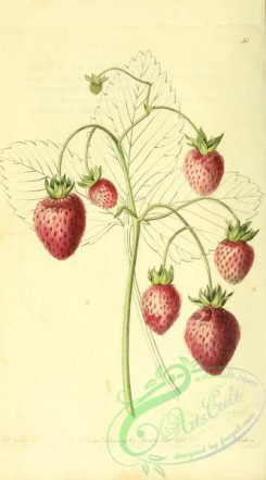 strawberry-00019 - Prolific Hautbois Strawberry