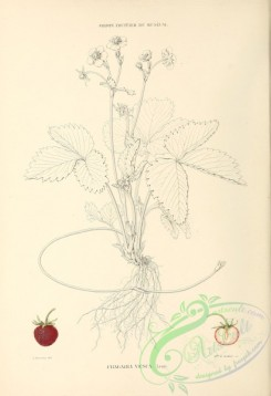strawberry-00343 - fragaria vesca