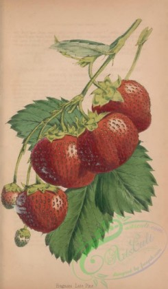 strawberry-00353 - Frogmore Late Pine Strawberry